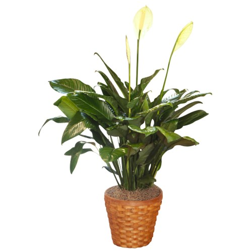 Peace-lily-Plant-for-home